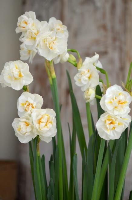 rosaroseblogg easterflower