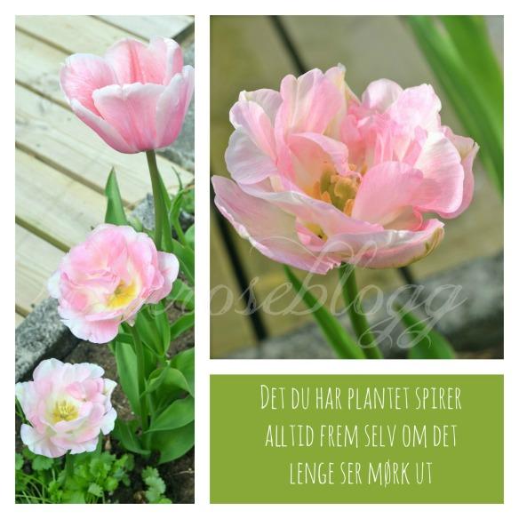 tulip card plantet 2 vannmerke